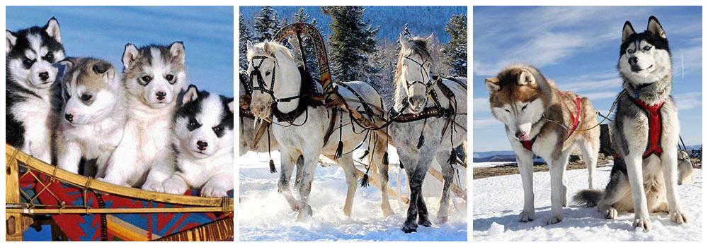 Провести новогодние каникулы с хаски и лошадьми